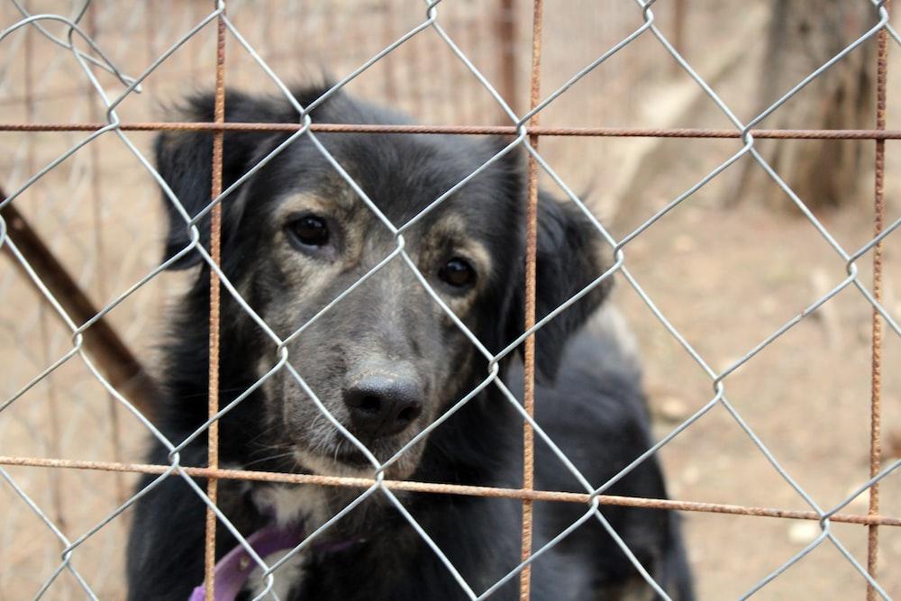 black short coat large dog