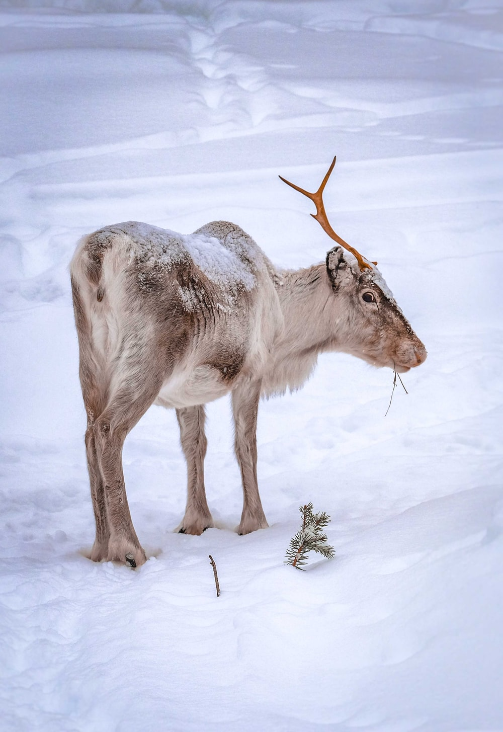 white and brown deer on snow covered ground during daytime