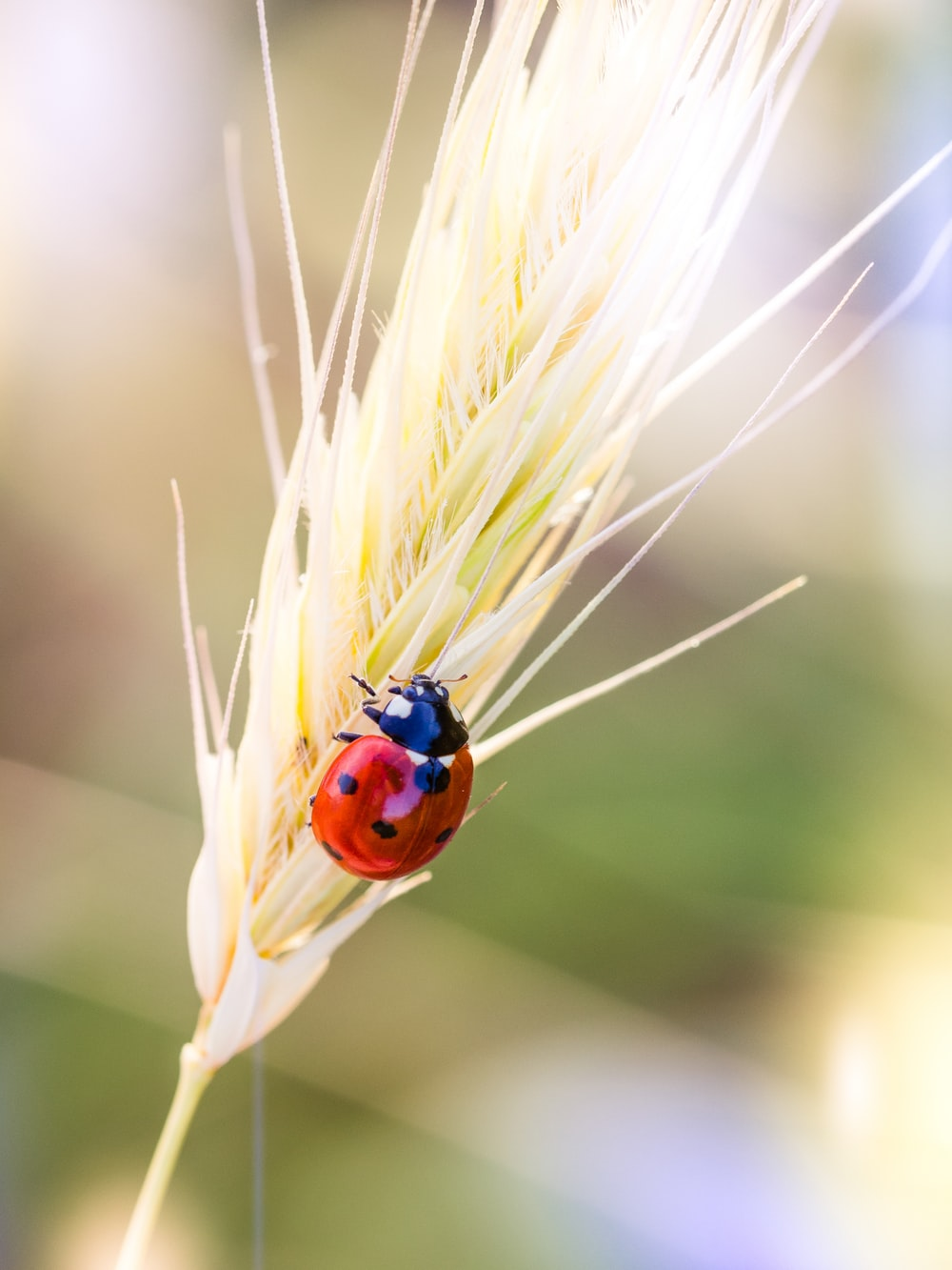 red ladybug perched on brown wheat in close up photography during daytime