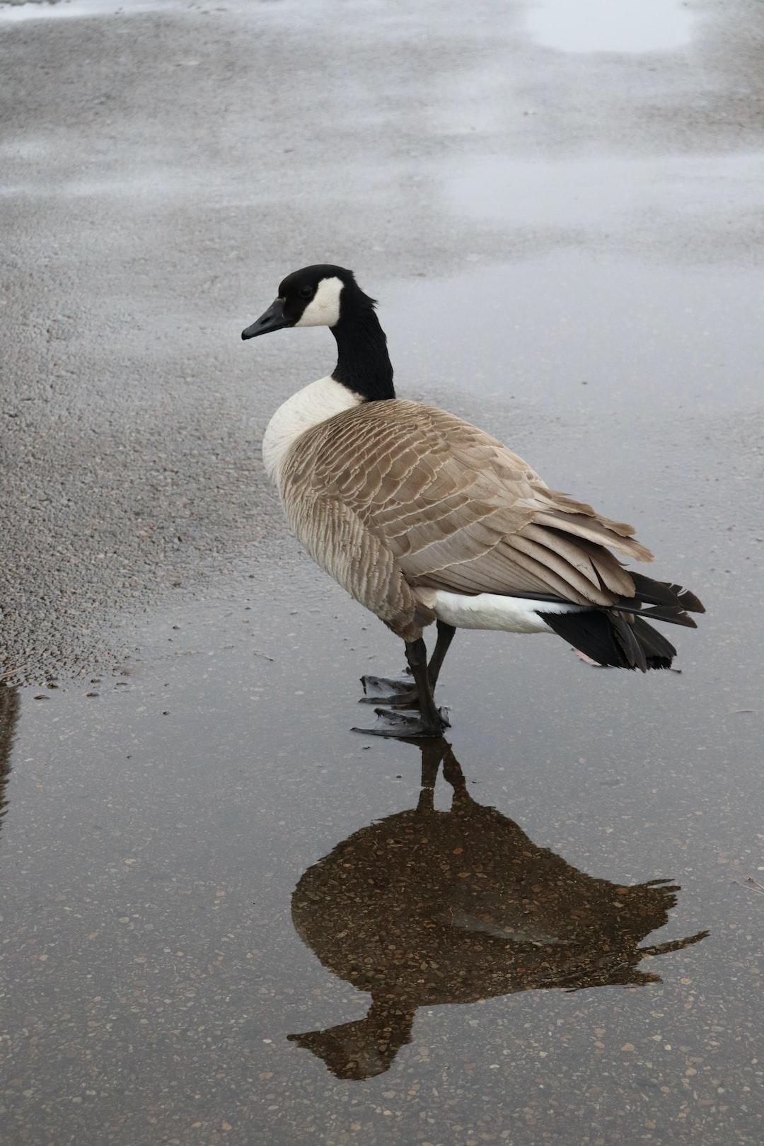 a goose, a reflection