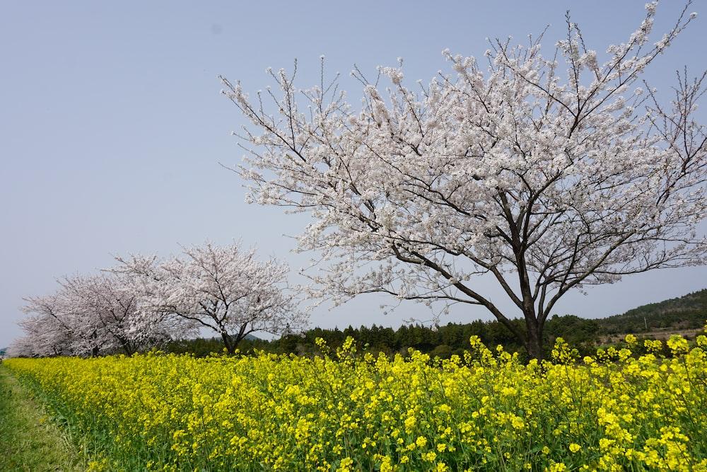 leafless tree on yellow flower field
