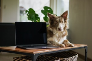 white and brown long coated dog lying on black laptop computer