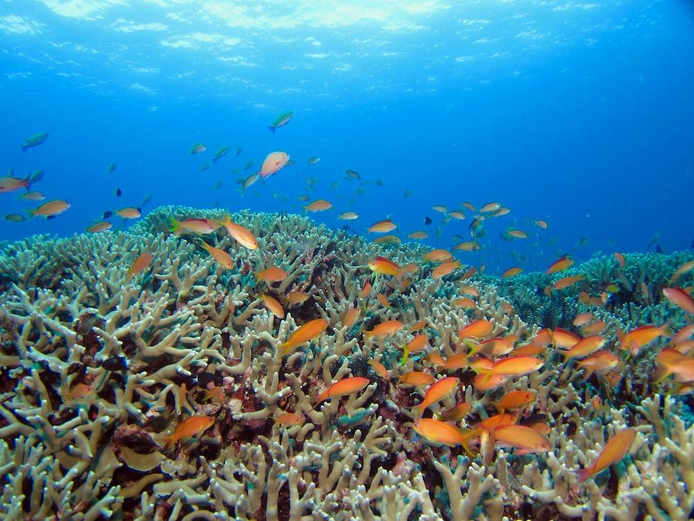 school of orange fish in water