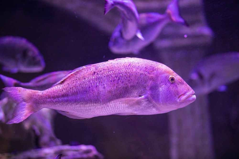 purple and white fish in water