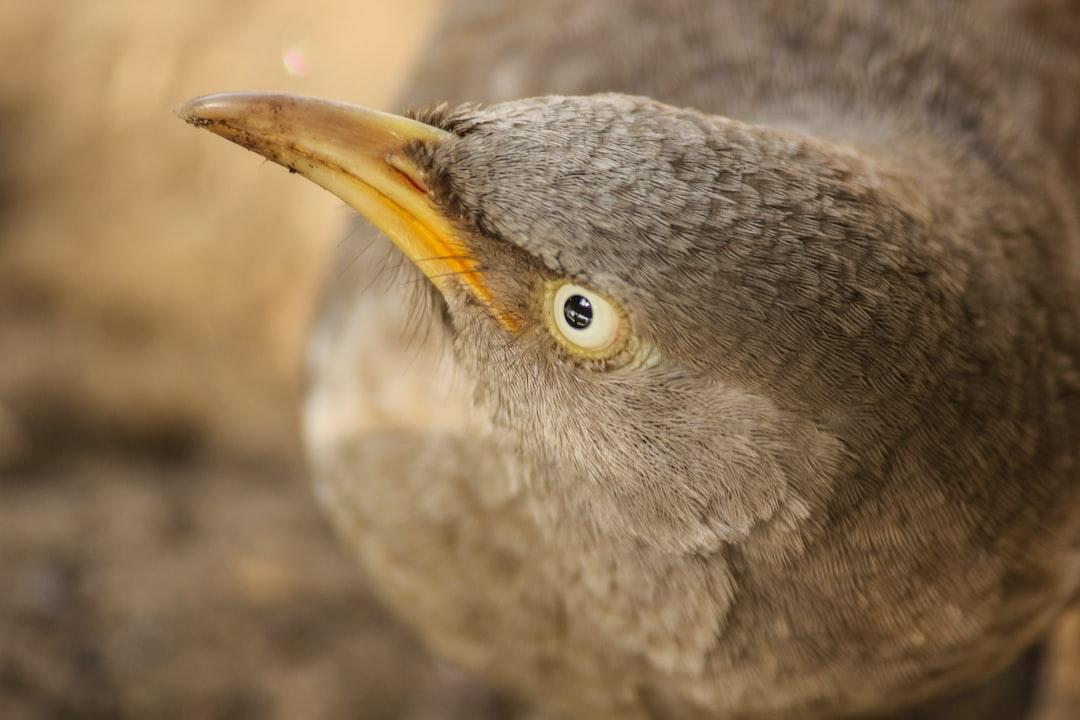 A close up of the beak of a jungle babbler