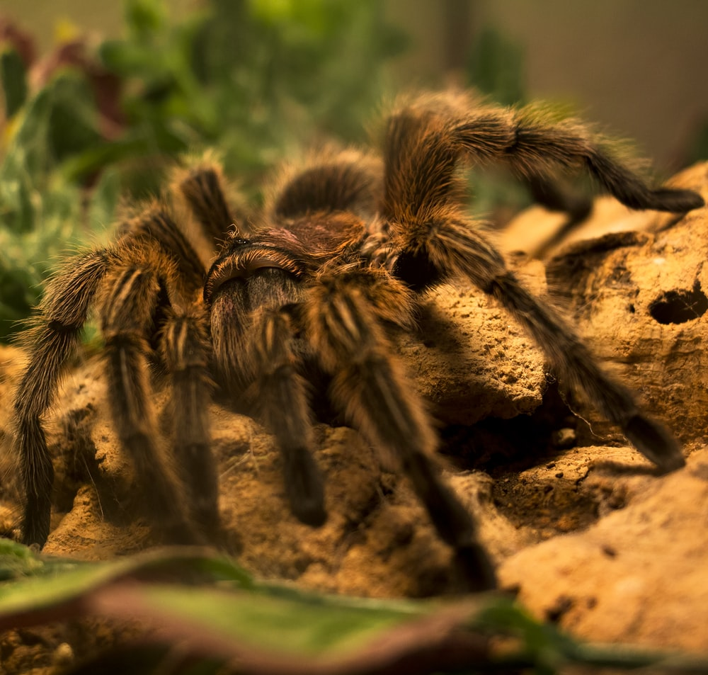 green and black tarantula on brown soil