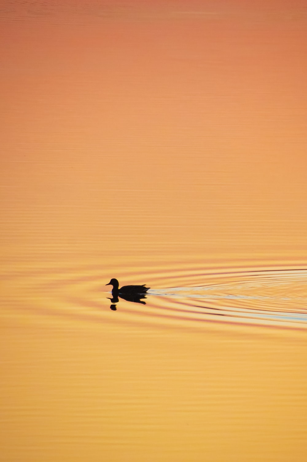 silhouette of duck on water during sunset