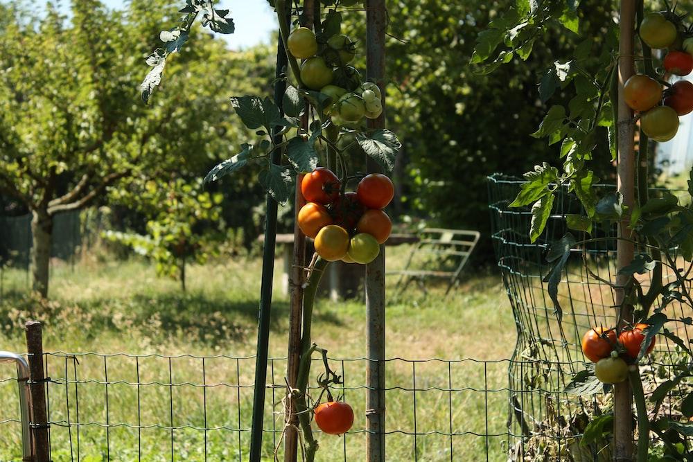 orange fruit on green metal fence