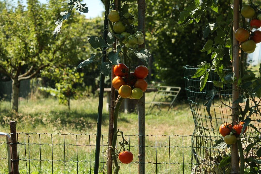Summer tomatoes hanging in the sun