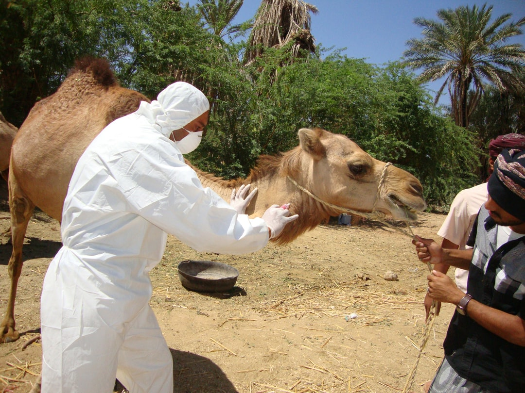 This image was captured during an investigation into the first reported Middle East Respiratory Syndrome Coronavirus (MERS-CoV) case in Haramout, Yemen. The study was led by Field Epidemiology Training Program (FETP) residents. In this particular view, veterinarian, Hasan Alkaf, DVM, is shown extracting blood samples from a camel's neck, as the animal was held in check by an assistant. The FETP trains workers on the ground to help countries build sustainable capacity for detecting and responding to health threats.