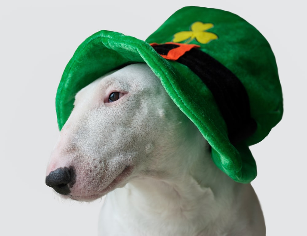 white short coated dog wearing green and yellow hat