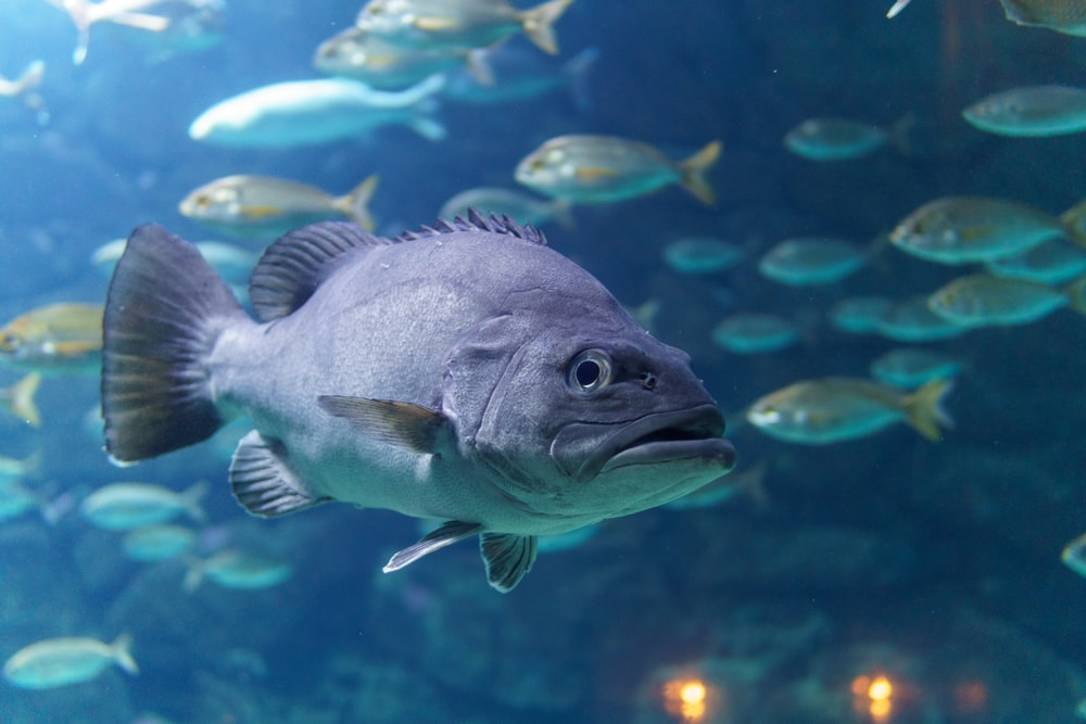 grey fish in water with school of fish