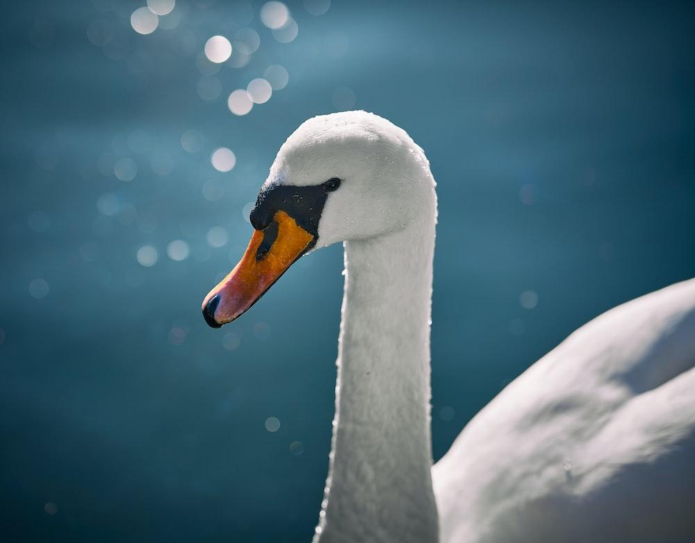 white swan in water during daytime