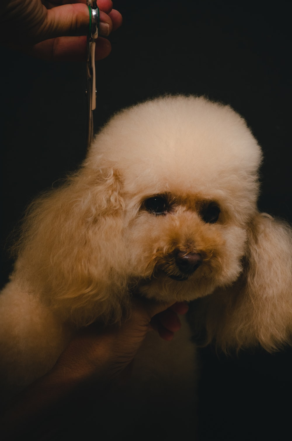 white poodle on persons hand
