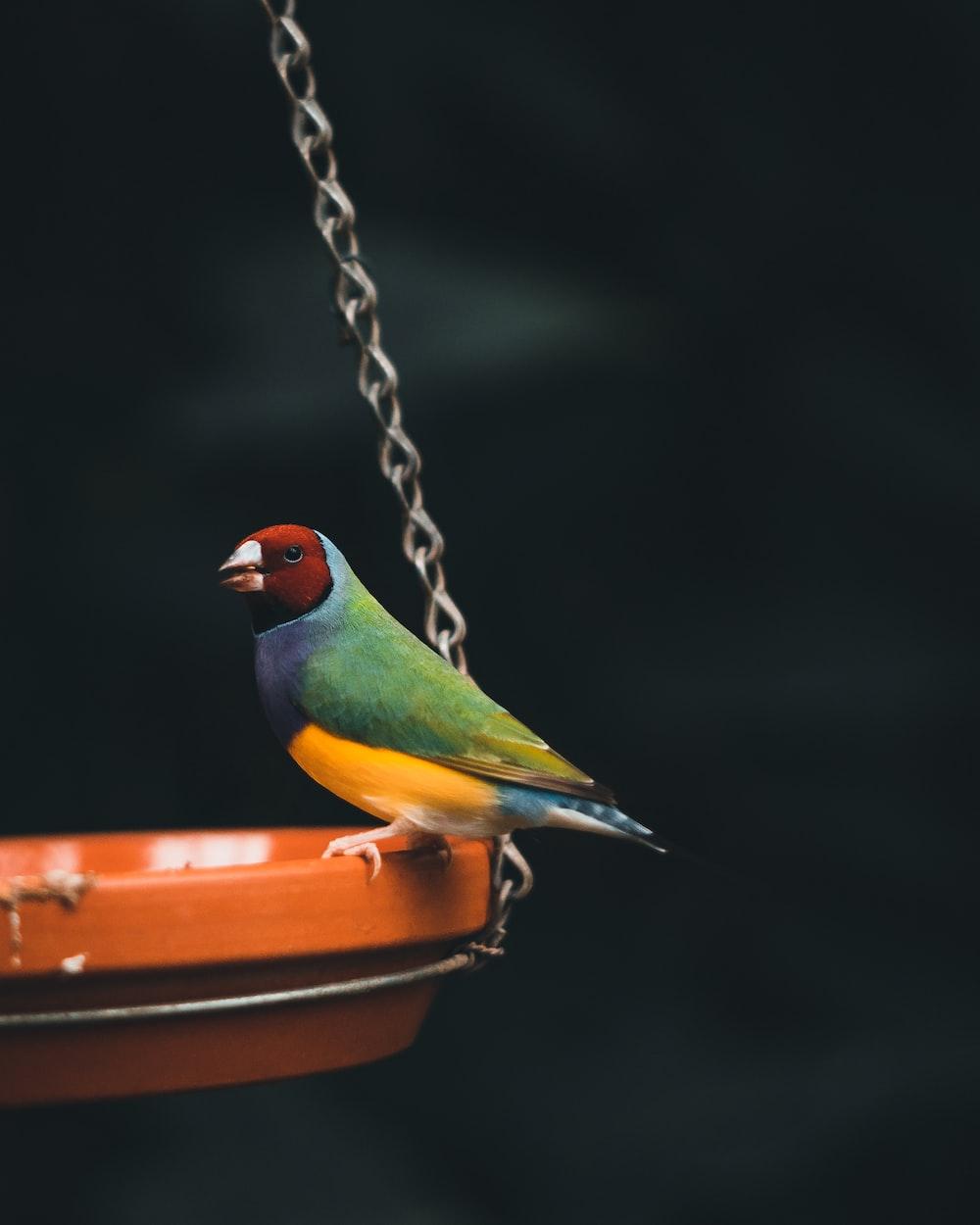 green yellow and orange bird on brown metal chain