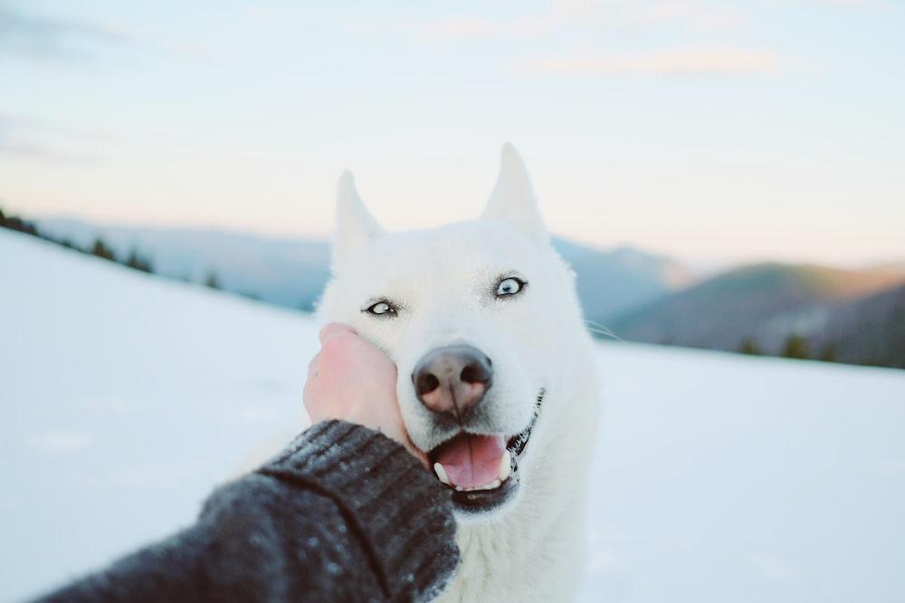 white siberian husky on snow covered ground during daytime