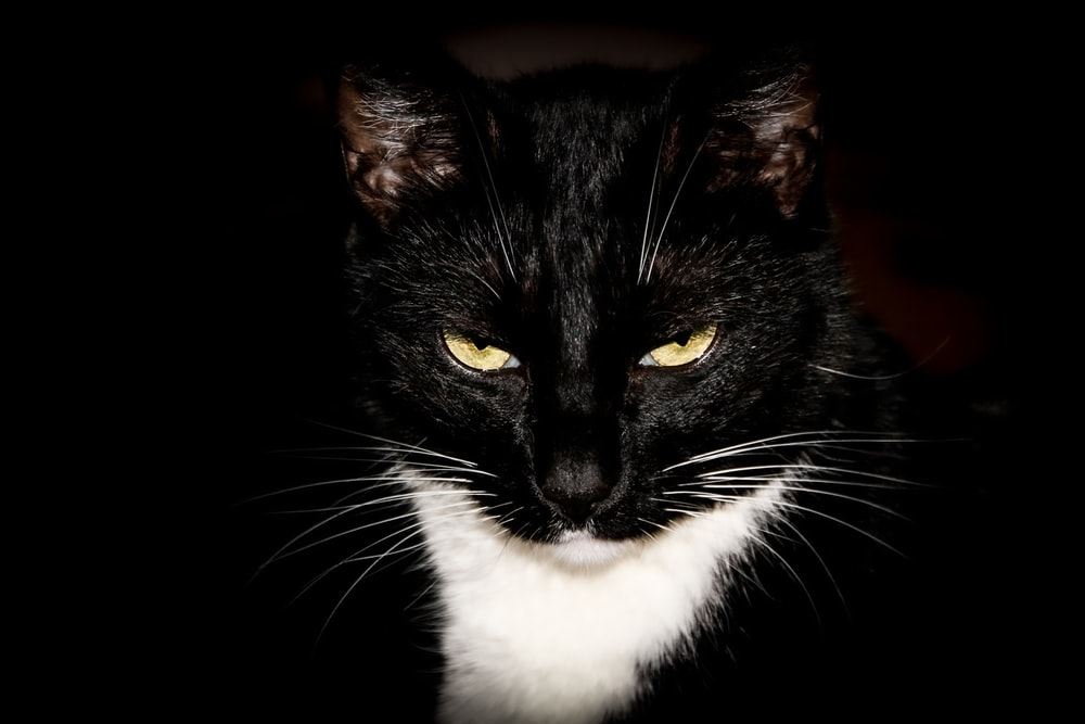 black and white cat with black background