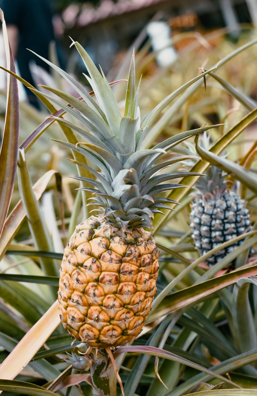 Pineapple at the Dole Pineapple plantation