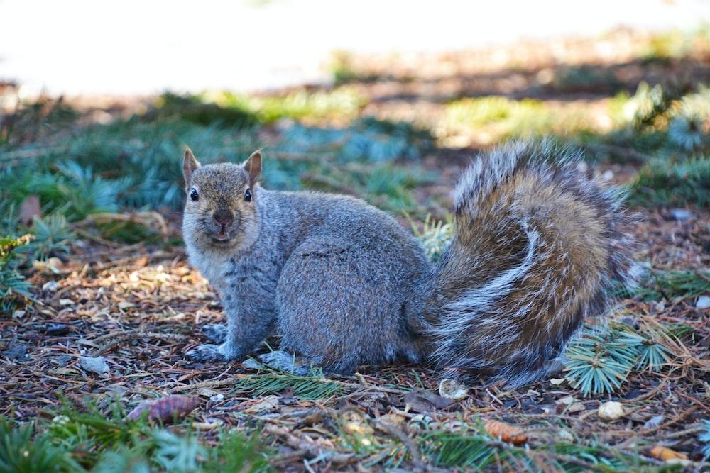 gray squirrel on brown ground during daytime