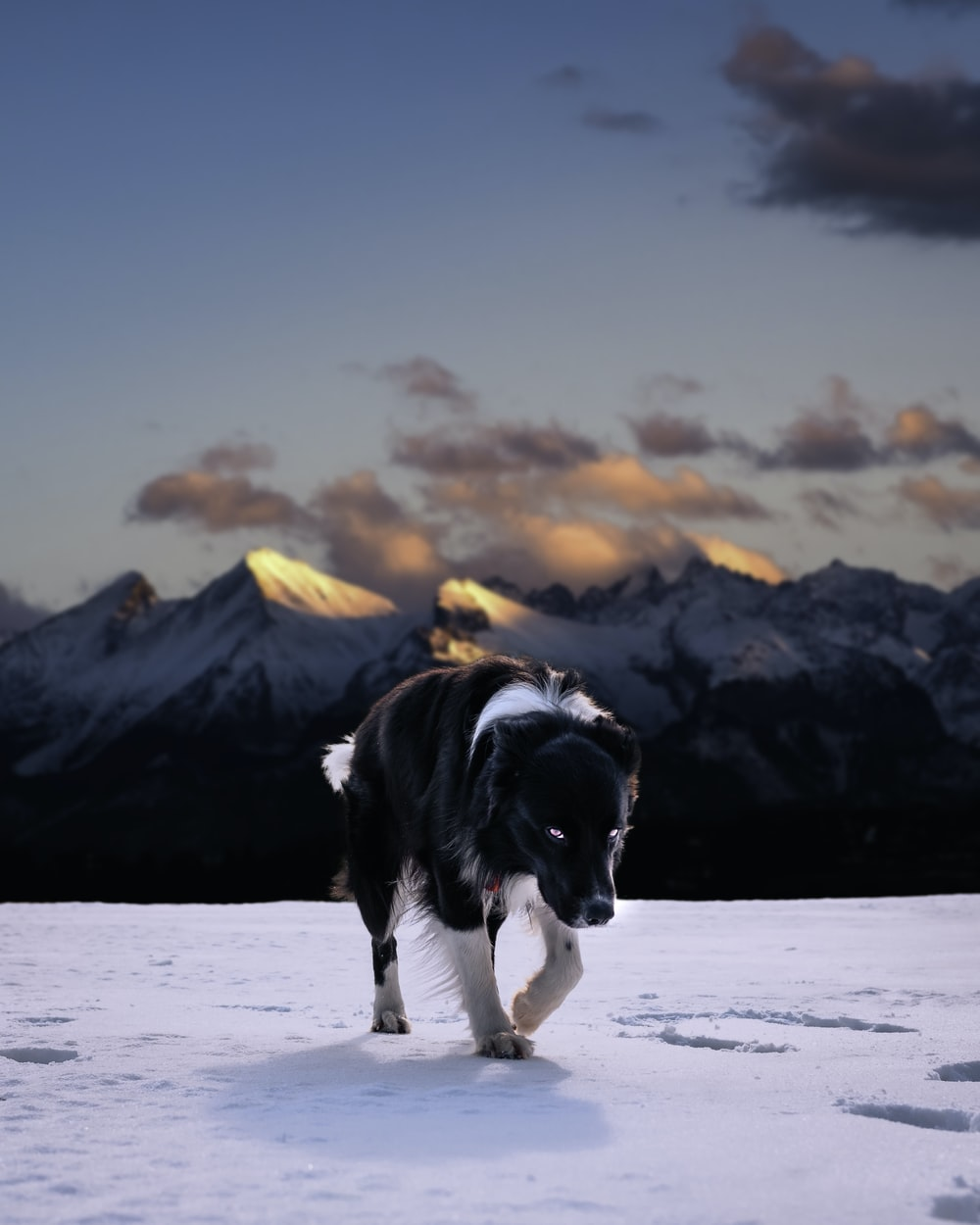 black and white border collie running on snow covered ground during daytime