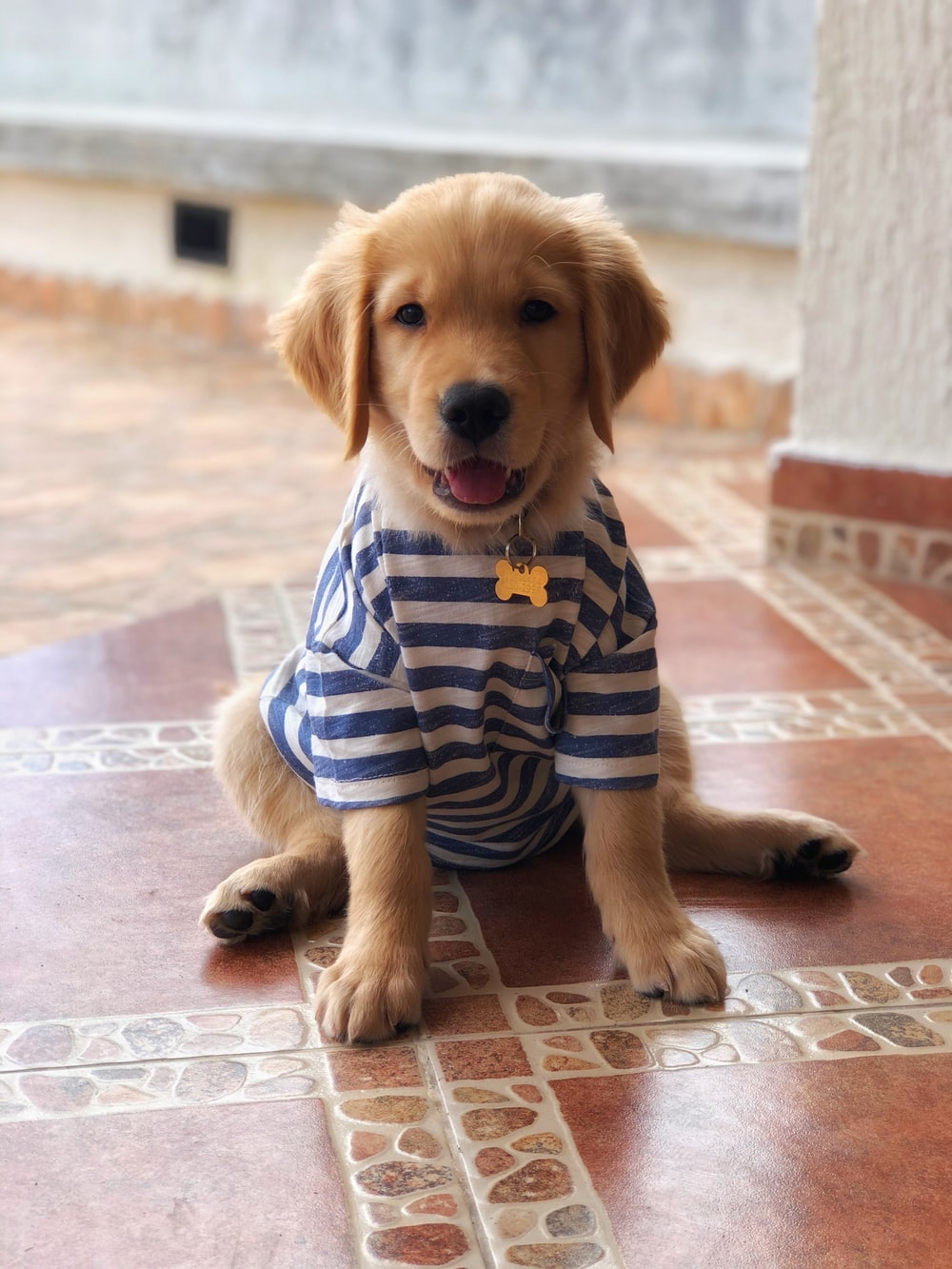 brown short coated dog wearing blue and white striped shirt