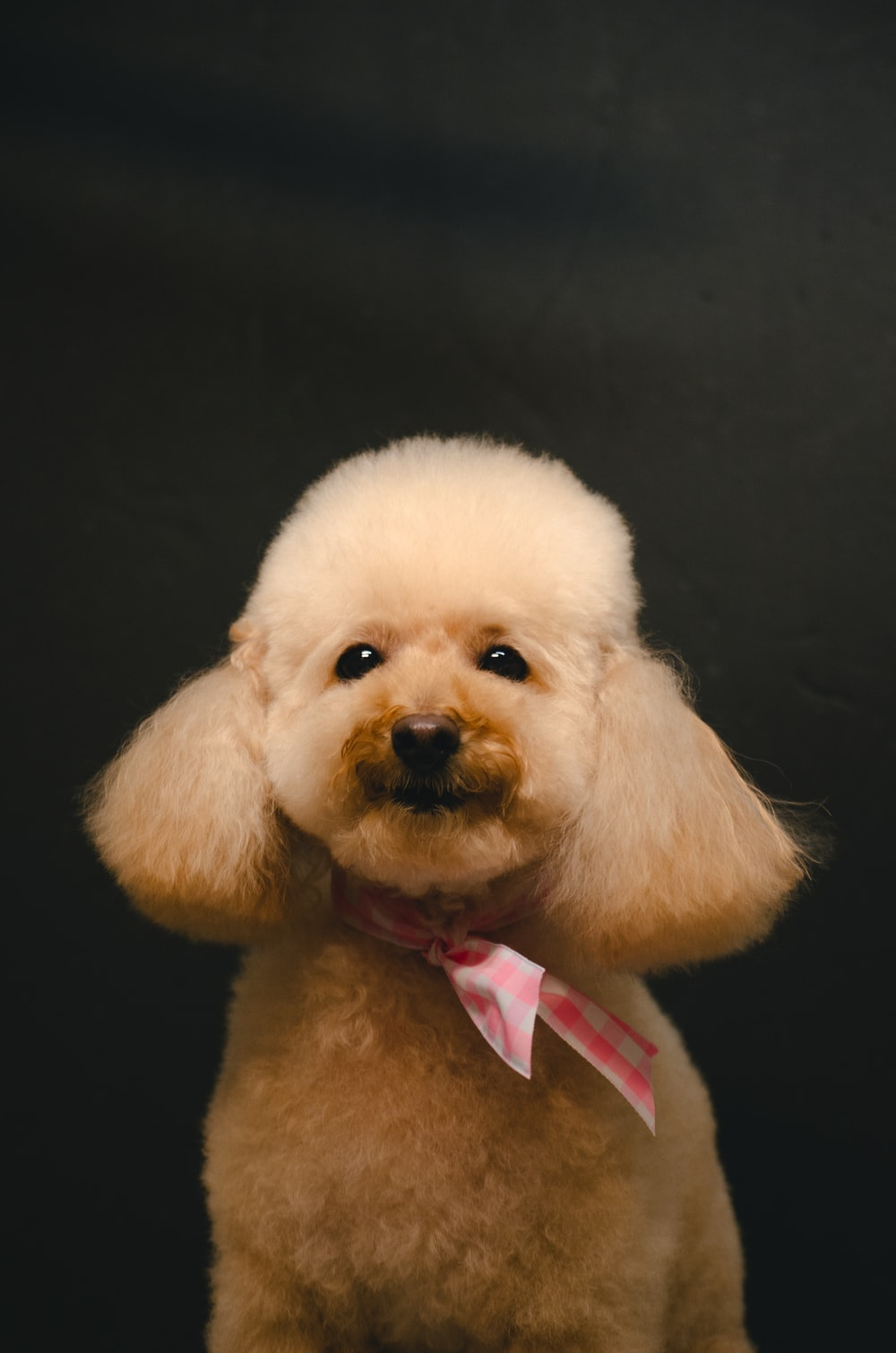 white poodle with pink and white plaid bowtie