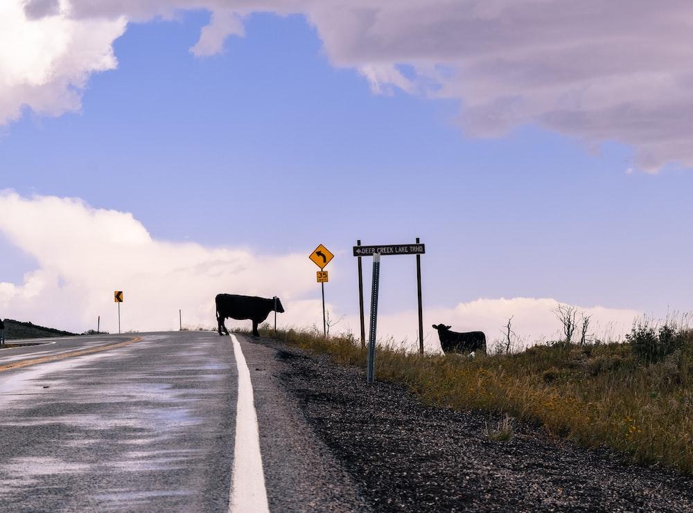 black cow on gray asphalt road during daytime