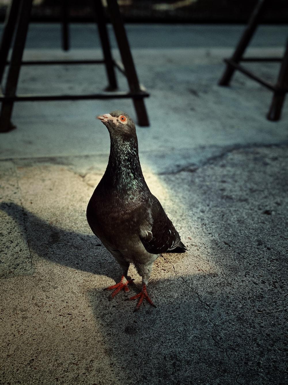 black and white duck on gray concrete floor