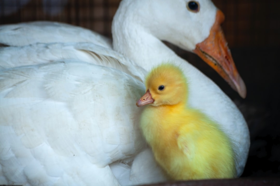Duck with a baby.