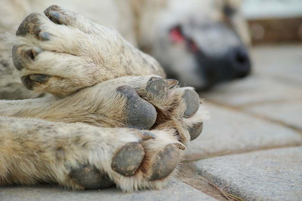white short coated dog lying on brown concrete floor