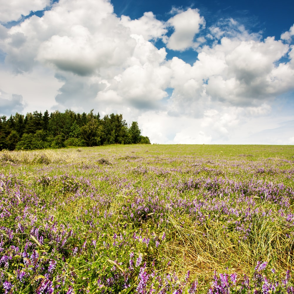 purple flower field under white clouds and blue sky during daytime