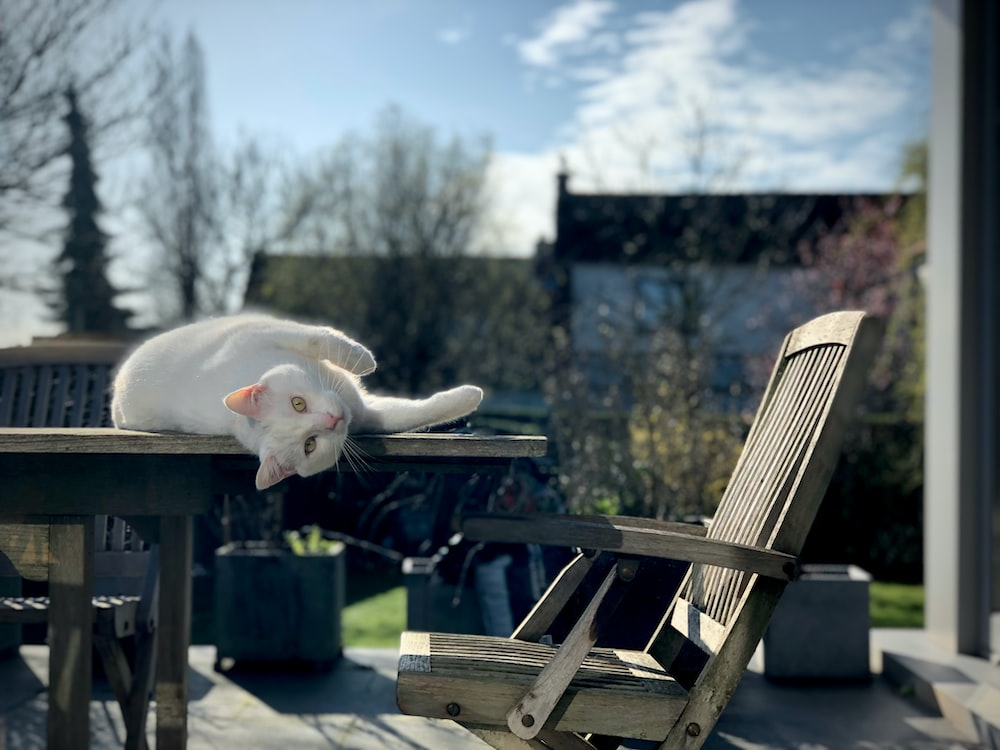 white cat on brown wooden armchair