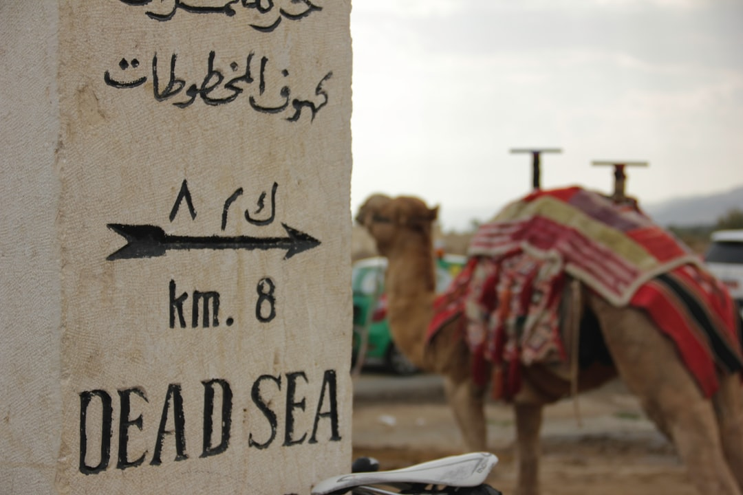 Camel near the Dead Sea