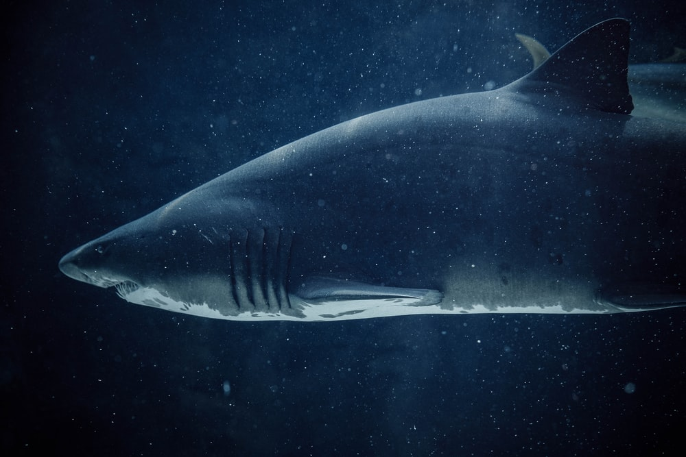 black and white shark underwater