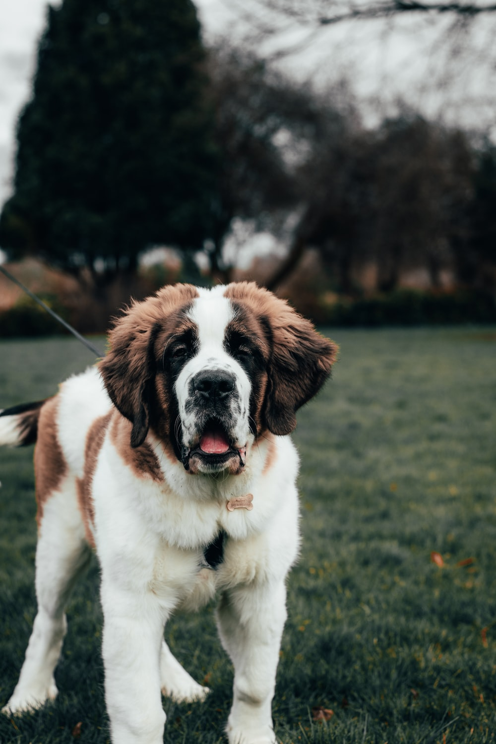 white and brown saint bernard dog on green grass field during daytime