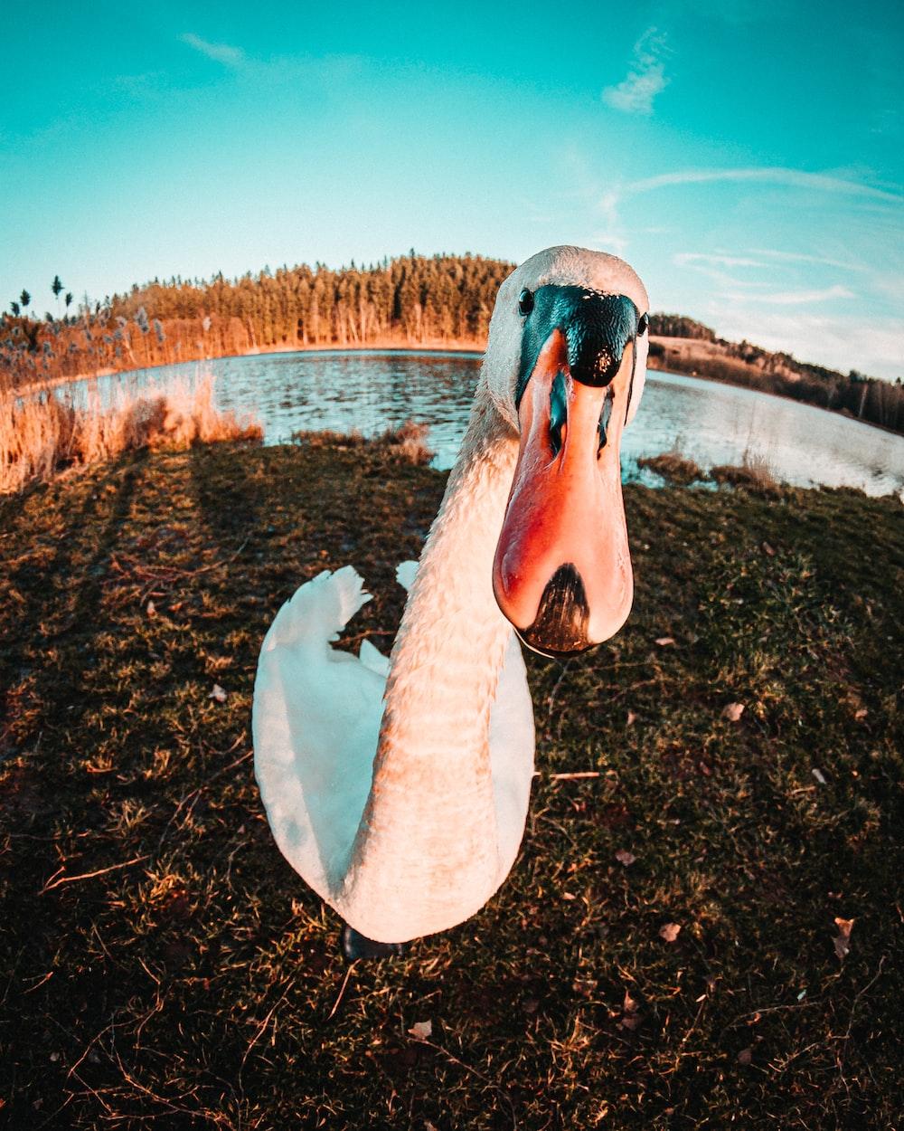 white and pink swan on lake during daytime