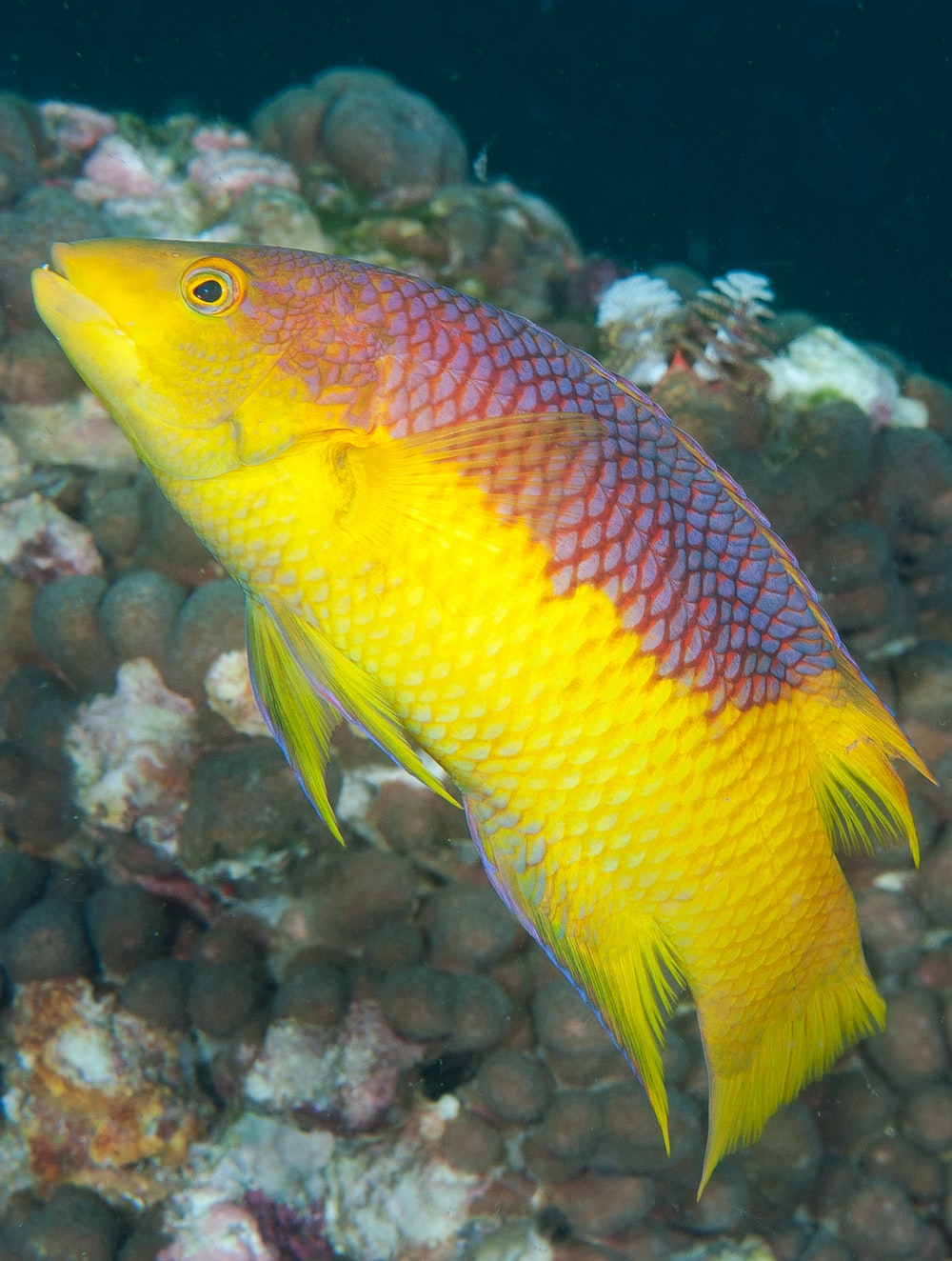 yellow and red fish in fish tank