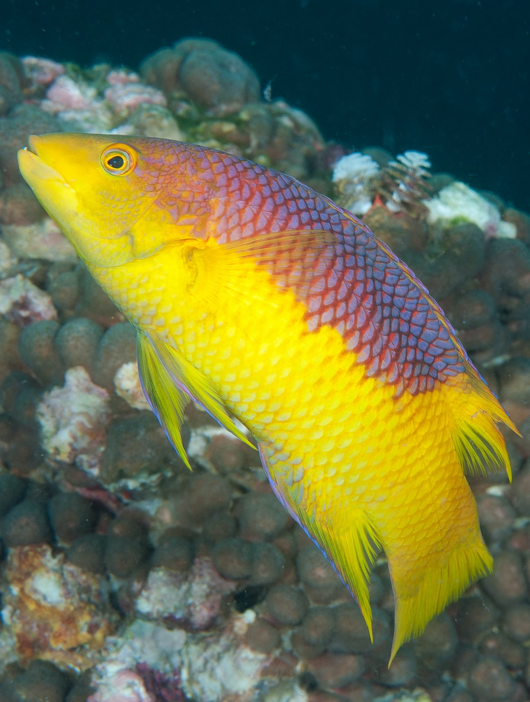 Side view of a Spanish hogfish.