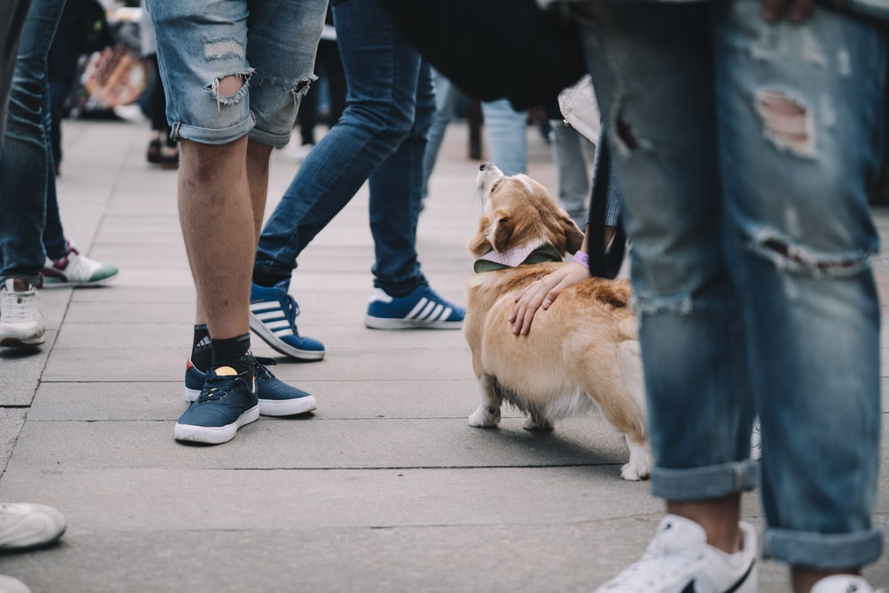 person in blue denim jeans and blue nike sneakers walking with brown and white short coated
