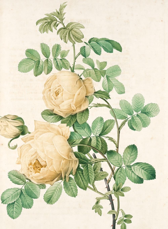 white rose on white textile