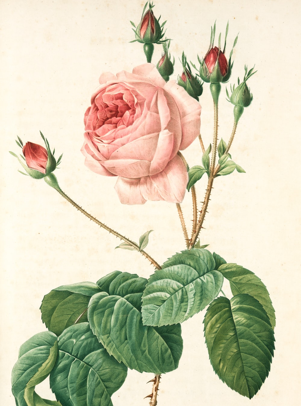pink rose with green leaves