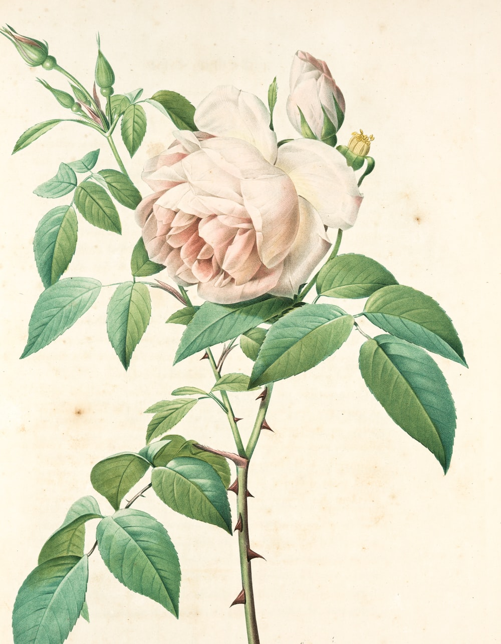 white and pink rose painting