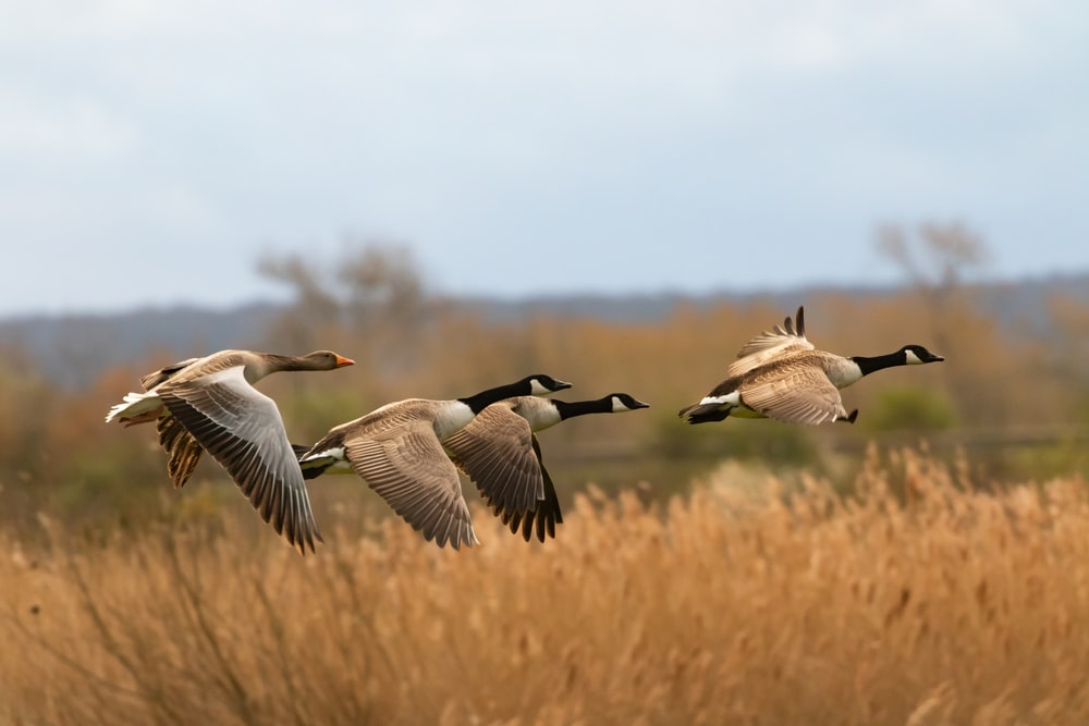 flock of geese flying during daytime
