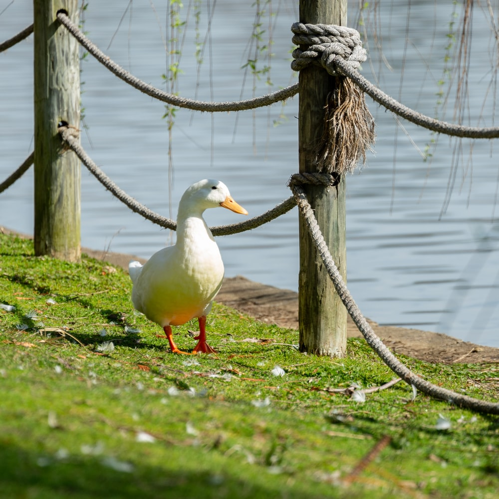 white duck on green grass near body of water during daytime