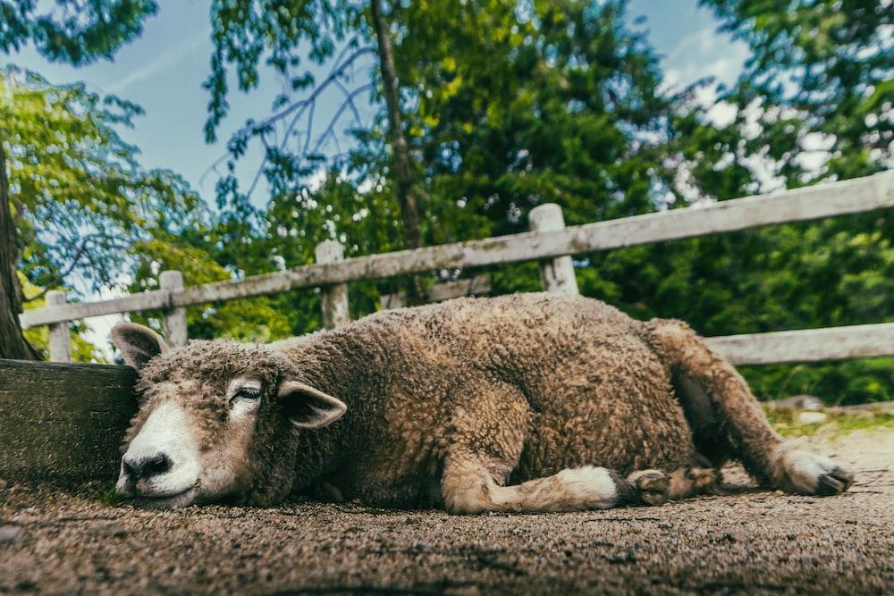 brown sheep on brown soil during daytime