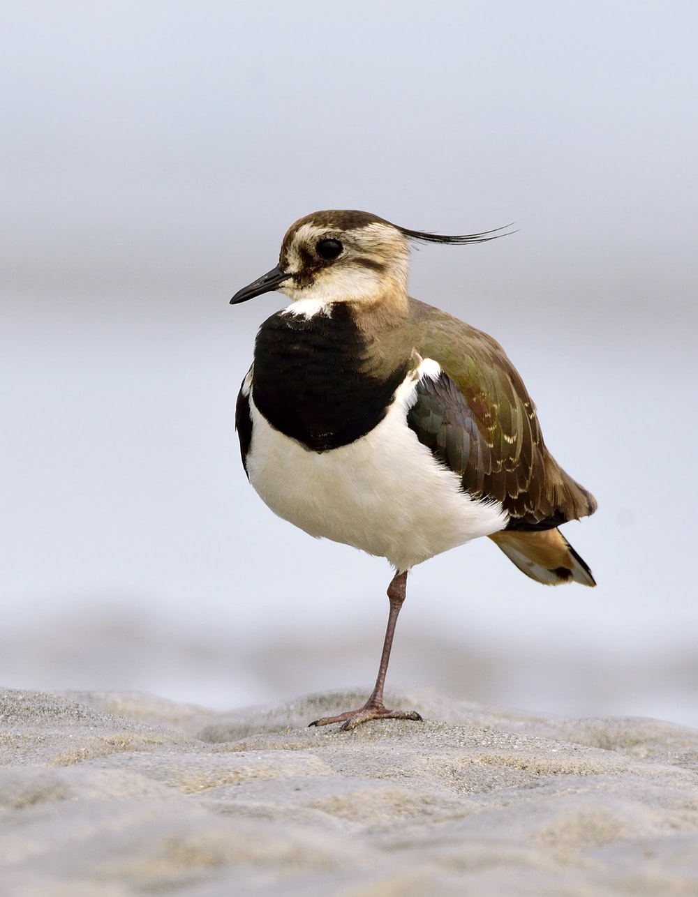 black and white bird on brown sand during daytime