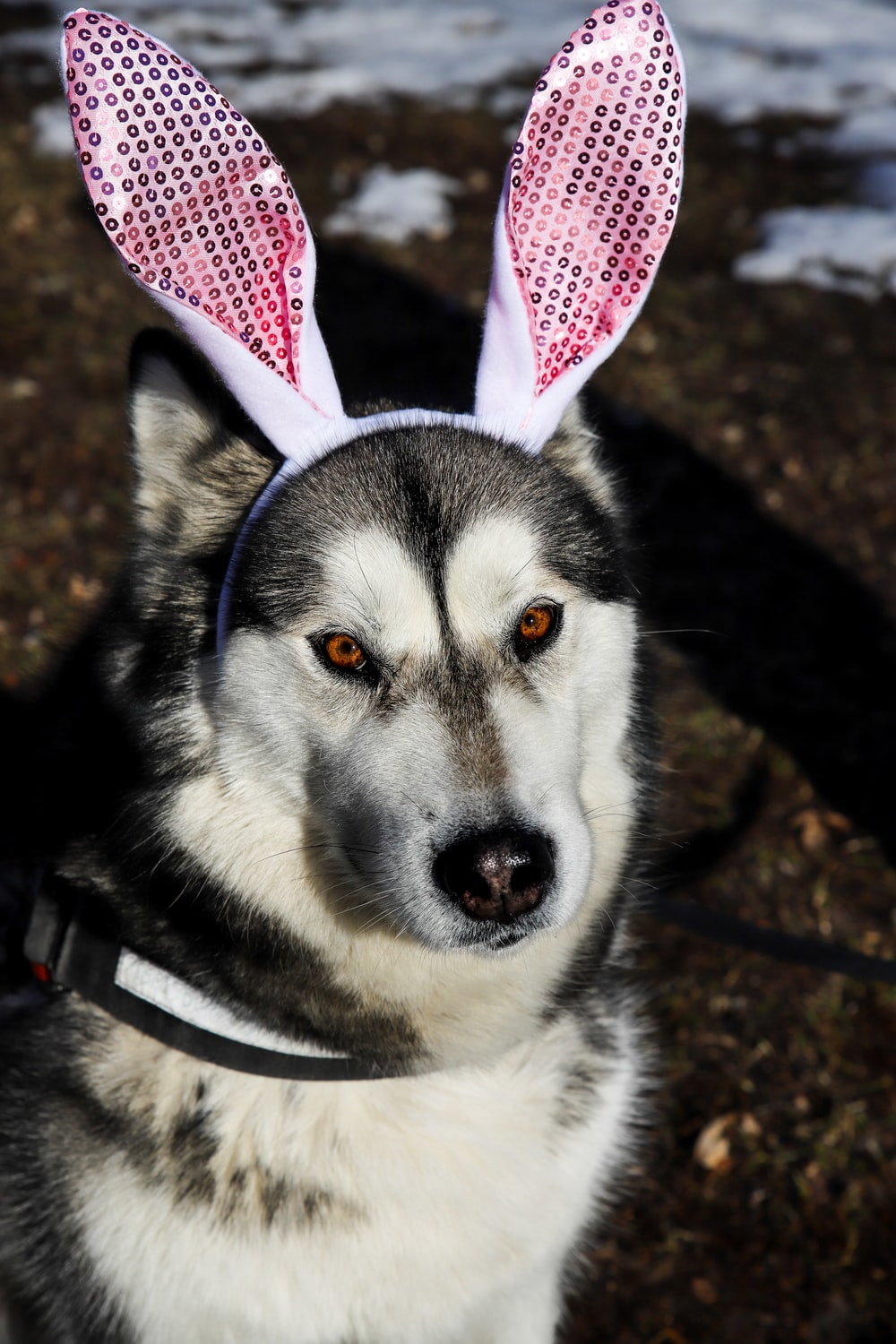 white and black siberian husky with red and white ribbon on head