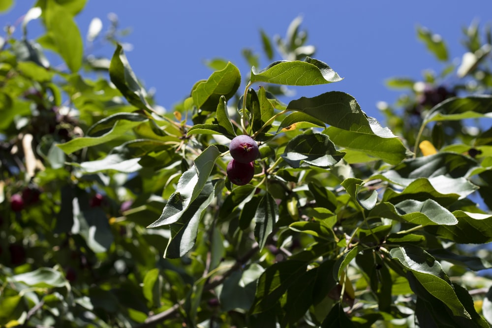 red round fruit on green tree during daytime