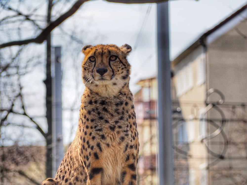 cheetah sitting on brown wooden floor