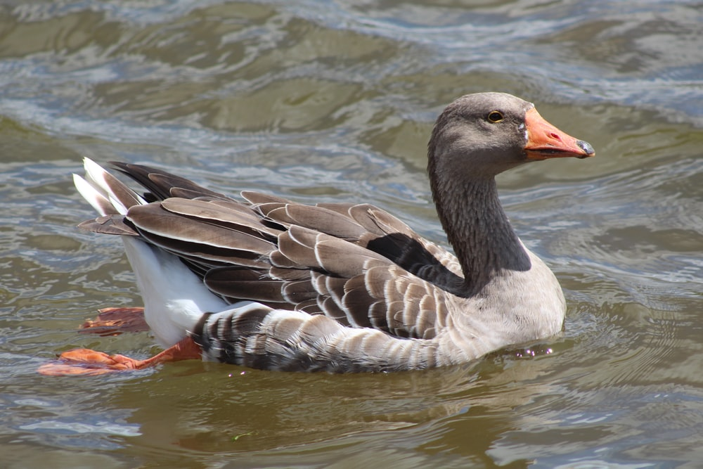 brown and white duck on water during daytime
